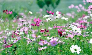 白色和粉色格桑花美景摄影图片