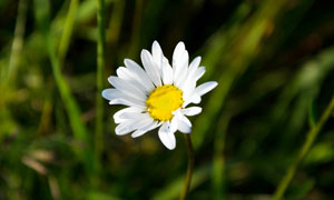盛开的菊花近景摄影图片