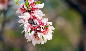 美丽的桃花花枝近景摄影图片