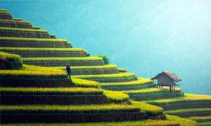 山坡美麗的梯田和稻田高清攝影圖片