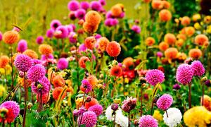 遍地的大丽花盛开景观摄影图片