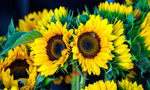 盛开的向日葵美景摄影图片