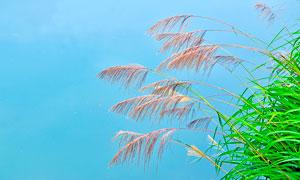 楠溪江芦苇丛美丽风光摄影图片