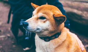 侧着脸可爱的小狗高清摄影图片