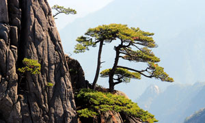黃山懸崖上的松樹景觀攝影圖片