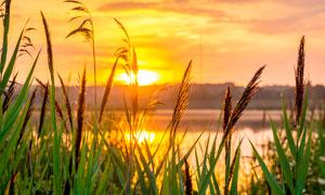 夕阳下河边美丽的芦苇丛高清摄影图片