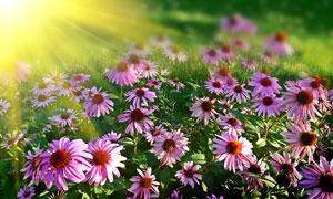 阳光下的菊花丛高清摄影图片