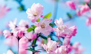 春季盛开的粉色樱花高清摄影图片