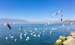 云南大理洱海上的鸟群高清摄影图片