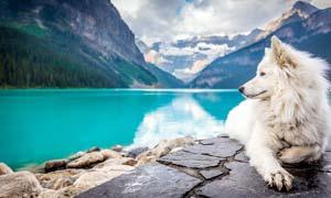 在湖边趴着的白狼摄影图片
