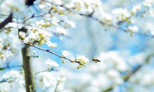 春季里花丛中正在采蜜的蜜蜂摄影图片