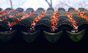 秋季黑瓦屋檐上的楓葉高清攝影圖片