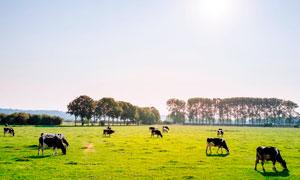 阳光下在草场吃草的牛群摄影图片