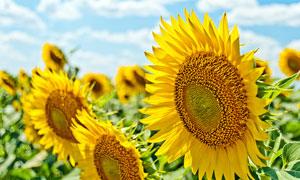 盛开的向日葵近景高清摄影图片