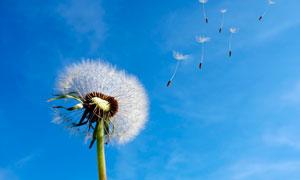 蓝天下被风吹起的蒲公英摄影图片