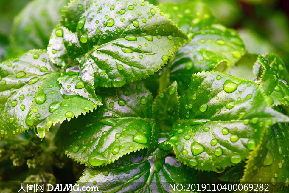 雨后绿叶上的水滴近景摄影图片