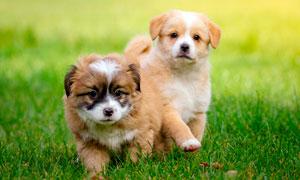 草地上的两只可爱小狗摄影图片
