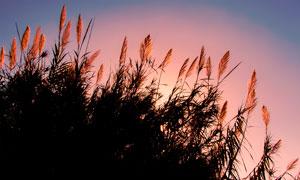 夕阳下的芦苇丛背影摄影图片