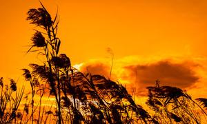 金色夕阳下的河边芦苇丛摄影图片