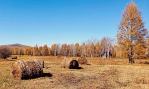 秋季蓝天下的草堆和树林摄影图片
