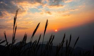 夕阳下的芦苇丛美景高清摄影图片