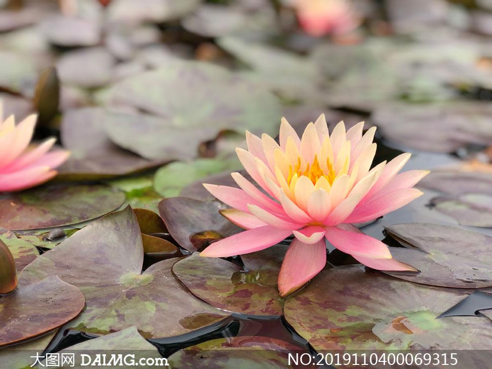 池塘中盛开的粉色莲花摄影图片