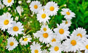 盛开的白色菊花高清摄影图片