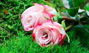 草丛上放着的玫瑰花束摄影图片