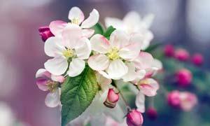 盛开的桃花花枝高清摄影图片