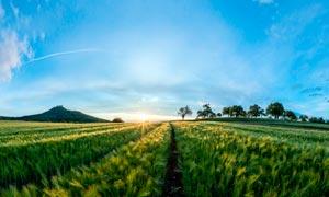 清晨陽光下的麥田高清攝影圖片