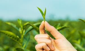 春季刚刚采摘的茶叶幼芽摄影图片