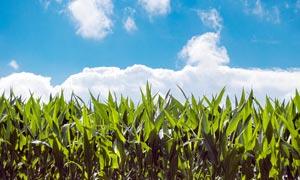 藍天下的玉米地農田高清攝影圖片