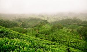 清晨云雾缭绕的茶园美景摄影图片