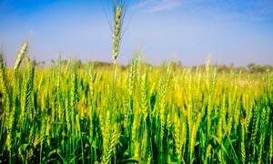 綠油油的小麥麥穗高清攝影圖片