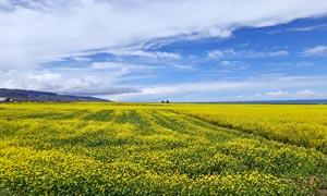 高原美麗的油菜花地高清攝影圖片