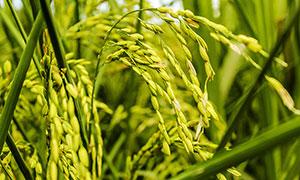 水稻稻穗特寫高清攝影圖片