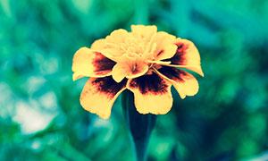盛开的万寿菊花朵摄影图片