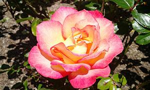 粉红色的香水月季高清摄影图片