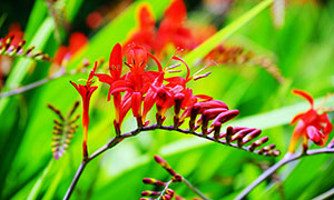 盛开的红色雄黄兰鲜花摄影图片