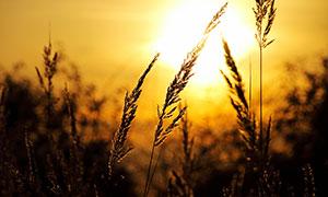 夕阳下的芦苇花高清摄影图片