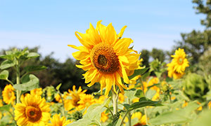 蓝天下盛开的向日葵摄影图片