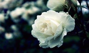 洁白的玫瑰花高清摄影图片