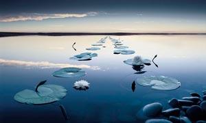 湖泊中的蓮花和蓮葉攝影圖片