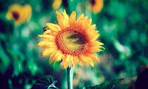 美丽的向日葵高清摄影图片