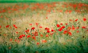 漫山遍野的罂粟花高清摄影图片