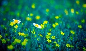 美丽的雏菊和小黄花高清摄影图片