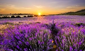 夕阳下的薰衣草庄园高清摄影图片