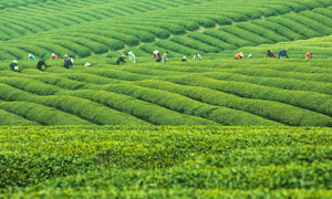 正在茶山上采茶的茶农摄影图片