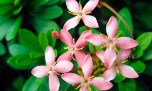 盛开的龙船花花枝高清摄影图片