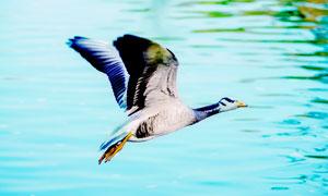 湖上飞翔的大雁高清摄影图片